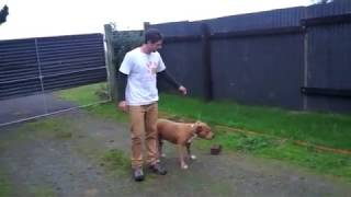 Aggressive American Staffordshire terrier begins his rehab