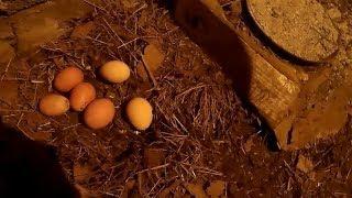Куры несушки яйценоскость зимой