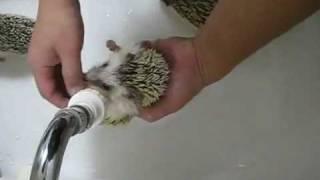 Как правильно мыть ёжиков