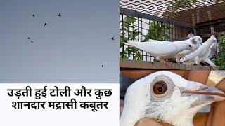 मेरे कुछ नए मद्रासी कबूतर || Madrasi