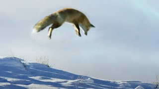 Fox Dives Head First in to Snow | Planet Earth II | BBC Earth