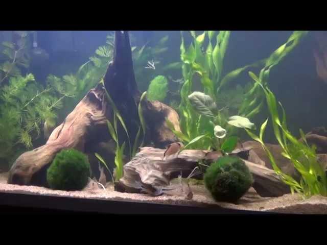 Corydoras tank!