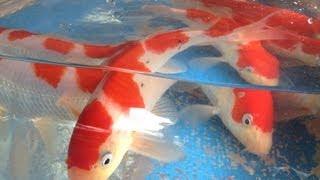 佐伯錦鯉市場、錦鯉のセリ市場 Nishikigoi Of Hiroshima