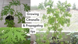 How to grow and propagate a Citronella 'mosquito plant' 🍃