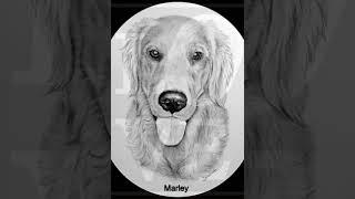 Marley the Golden Retreiver