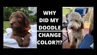 Why Do Goldendoodles Change Color? Doodle Questions Answered!