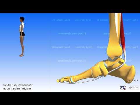 La distension des muscles inférieurs du ventre