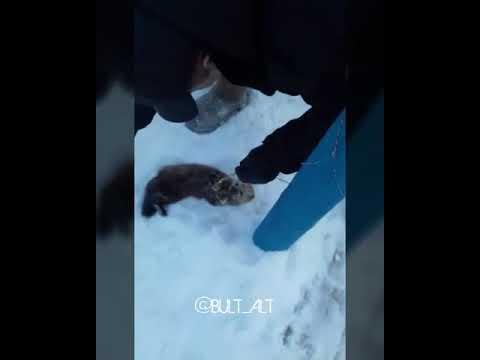 Видеофакт: В Якутии поймали и выходили раненого соболя