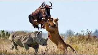 Big battle craziest of Rhino vs Wild Animal - Lion, Leopard, Elephant, Hyenas vs Rhino