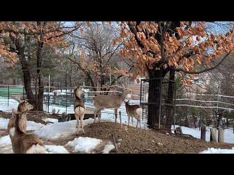 【おびひろ動物園】エゾシカの警戒声
