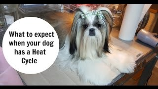 What to expect with a Dogs Heat Cycle