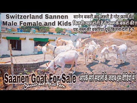 , title : 'Most beautiful saanen goat's | Switzerland saanen breed | Saanen and Alpine Goat farm in Pune