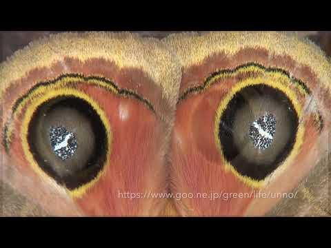メダマヤママユの目玉模様 False eye spot of Automeris moth
