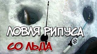 Рыбалка на рипуса (ряпушка). Ловля рипуса со льда.