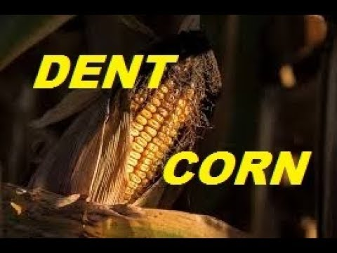 FALL GARDENING SERIES~Dent Corn