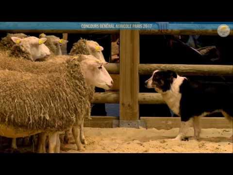 Voir la vidéo : Ring Ovins et Caprins du 03 mars 2017, partie 3
