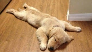 Funny Golden Retriever Puppies videos - Compilation 2017