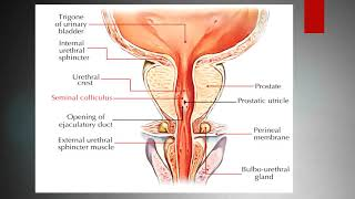 Lecture of Dr. Fatima Nasir Gross Anatomy on topic Male Female Urethra