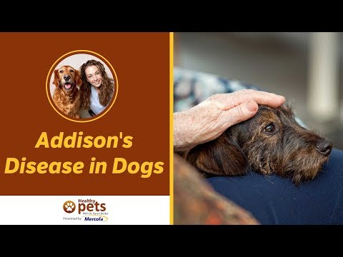 Video Addison's Disease in Dogs