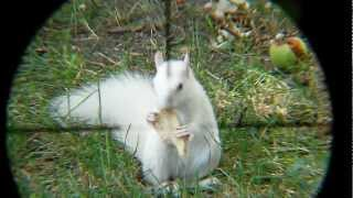 3 white squirrel