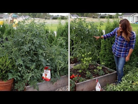 , title : 'Pruning an Overgrown Tomato Plant! ✂️🍅🌿// Garden Answer