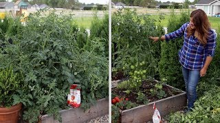 Pruning an Overgrown Tomato Plant! ✂️🍅🌿// Garden Answer