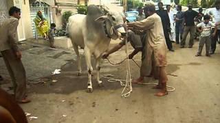 Sibbi Bull K karnamy