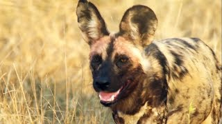 Wild Dog is Devoted to His Pregnant Mate | Earth Unplugged