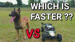 DOG VS RC CAR - BELGIAN MALINOIS VS LOSI DBXLE (30M SPRINT) | SPARTA THE BELGIAN MALINOIS