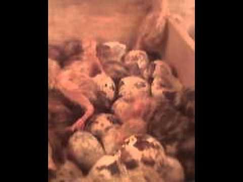 Video trik cara penetasan telur puyuh