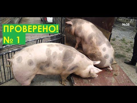 , title : 'Таблица для откорма свиней ✓ 1 в Украине. 100 процентов результат. Сім'я в селі.