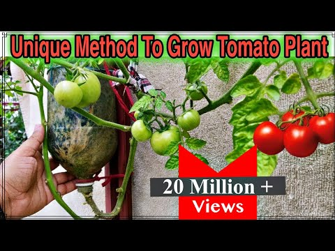 Best Method To Grow Tomato Plant in Plastic Hanging Bottle ll Vertical Gardening ll No Space Garden