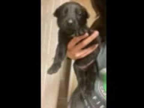 Ariel - Belgian Malinois puppy for sale
