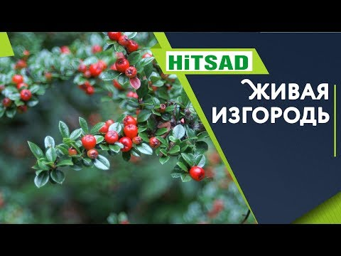Кизильник 🌺 Живая Изгородь Для Дачи 🌺 Советы от Хитсад ТВ