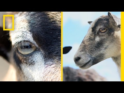 How Do Rectangular Pupils Help Goats Survive? | National Geographic