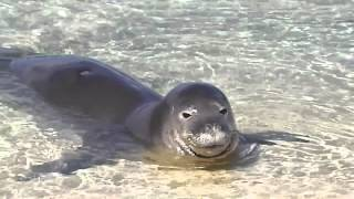 preview picture of video 'Crooner Monk Seal Demonstrates Vocalization Skill'