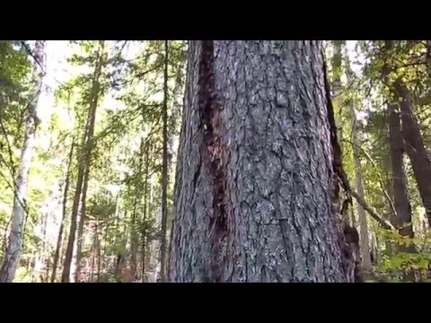 Семья Бровченко. Как собирать смолу (живицу) с хвойных деревьев и с листвяка и для чего она нужна.