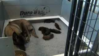 Puppies For Sale - Puppies - Belgian Malinois Puppies For Sale - Puppies Nursing Inside Whelping Box