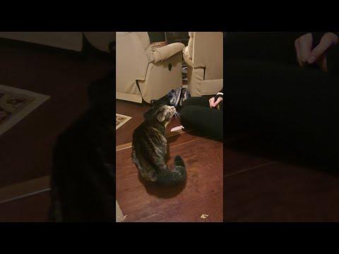 סרטון הורס מצחוק של חתול מגיב לכך שבעליו התחפש לחתול