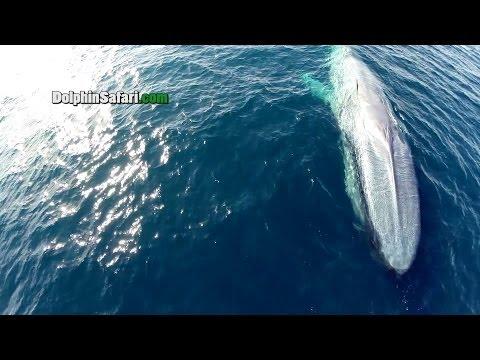 Drohnen über Wale, Dana Point,Kalifornien,USA