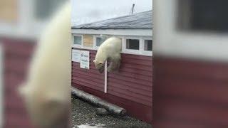 Белый медведь ограбил склад продуктов и застрял в окне