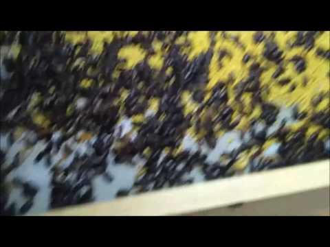 Video BUDIDAYA ULAT HONGKONG PRAKTIS & EKONOMIS
