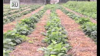 Пенсионер выращивает клубнику