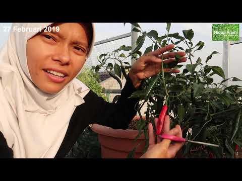 Ep. 51 Panen timun ke3 di planter bag 15 L**pruning akar ginseng jawa