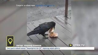 Три булочки в один клюв: очень жадного ворона снял на видео житель Башкирии