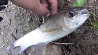 Хариус отпускаем Рыбалка 2017  Ловля хариуса Рыбалка на поплавок Рыбалка на хариуса Рыбалка на карас