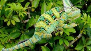 Yemen chameleon Setup