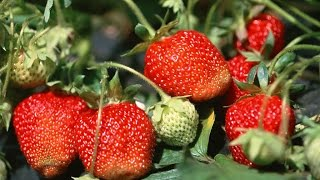 How To Grow Strawberries Organically   Complete Growing Guide