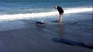 Blue shark stranded after chasing fish