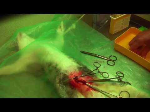Gabriele Surgery: Spaying Of A Female Cat
